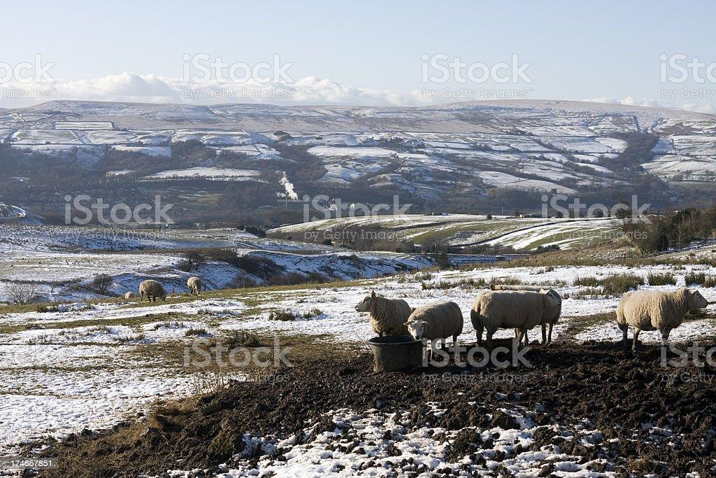 Sheep feeding in winter royalty-free stock photo
