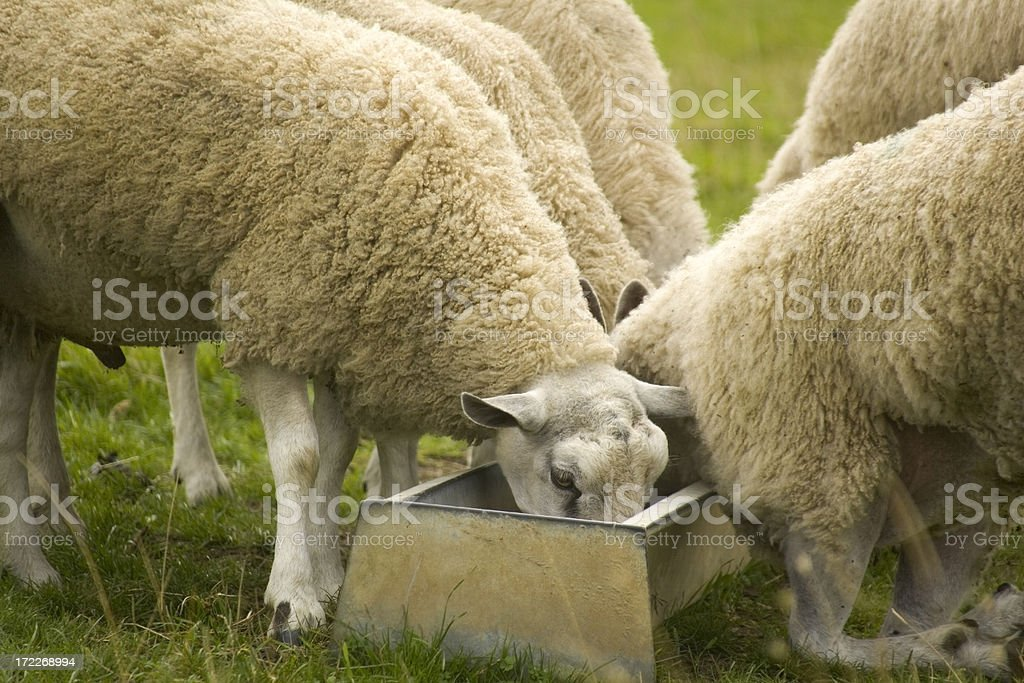 sheep feeding royalty-free stock photo