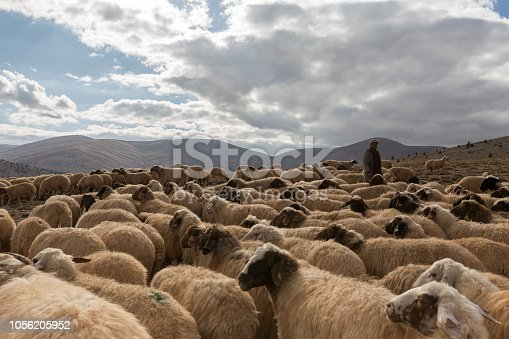 Flock of sheep with shepherd.