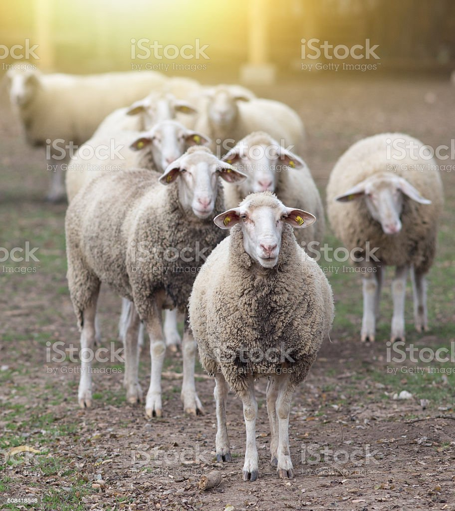 Sheep flock standing on farmland stock photo