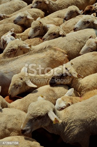 A flock of sheep viewed from above.