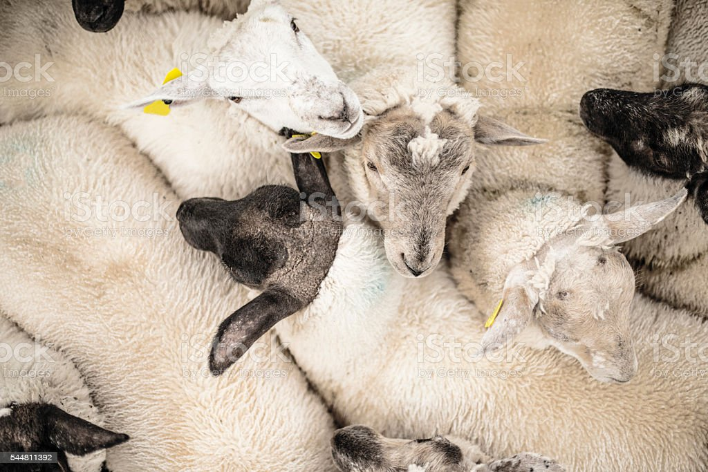 sheep from above stock photo