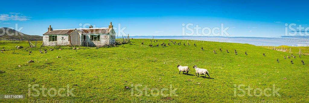 Sheep geese green farm pasture old croft Hebrides Scotland panorama stock photo