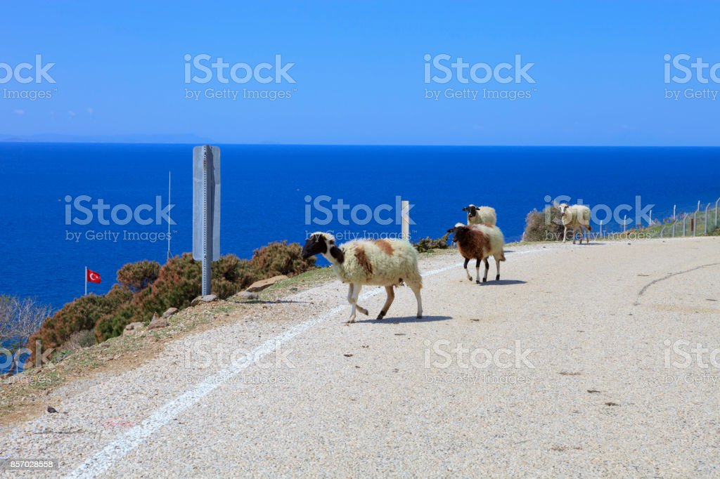 Sheep, Gokceada stock photo