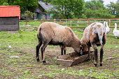 Sheep graze in barnyard, eating food. Rural organic nature animals farm.