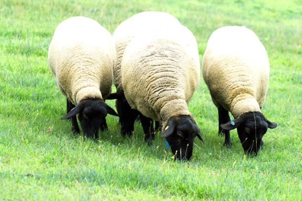 moutons broutaient dans nord - année du mouton photos et images de collection