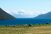Sheep Grazing at Lake Wakatipu