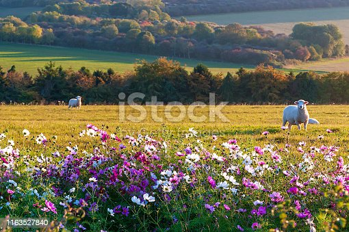 beautiful flowers against the background of sheep grazing at sunset