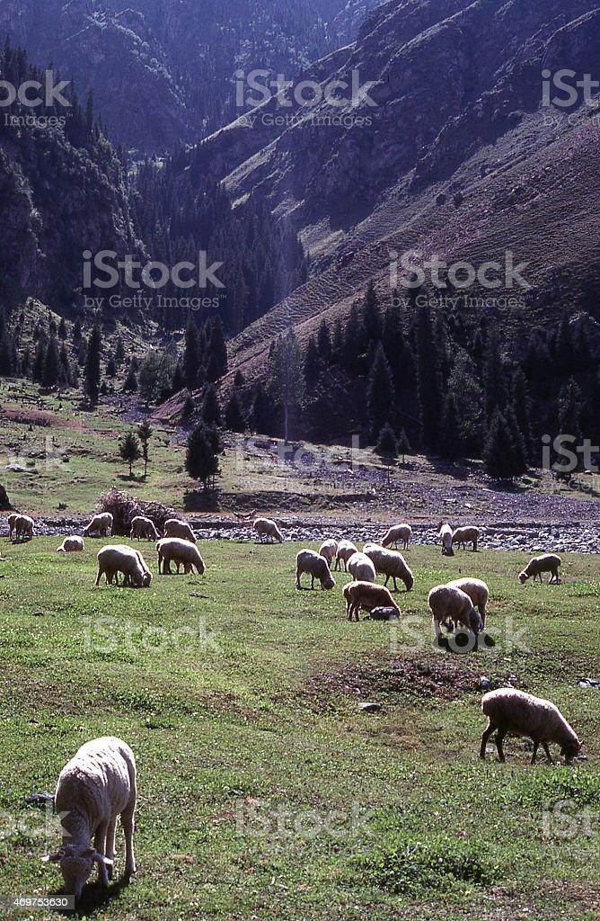 Sheep grazing high mountain summer pastures Tien Shan Xinjiang China stock photo