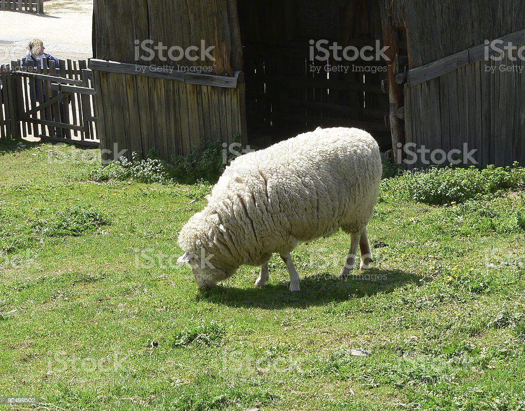 Sheep grazing in a field royalty-free stock photo