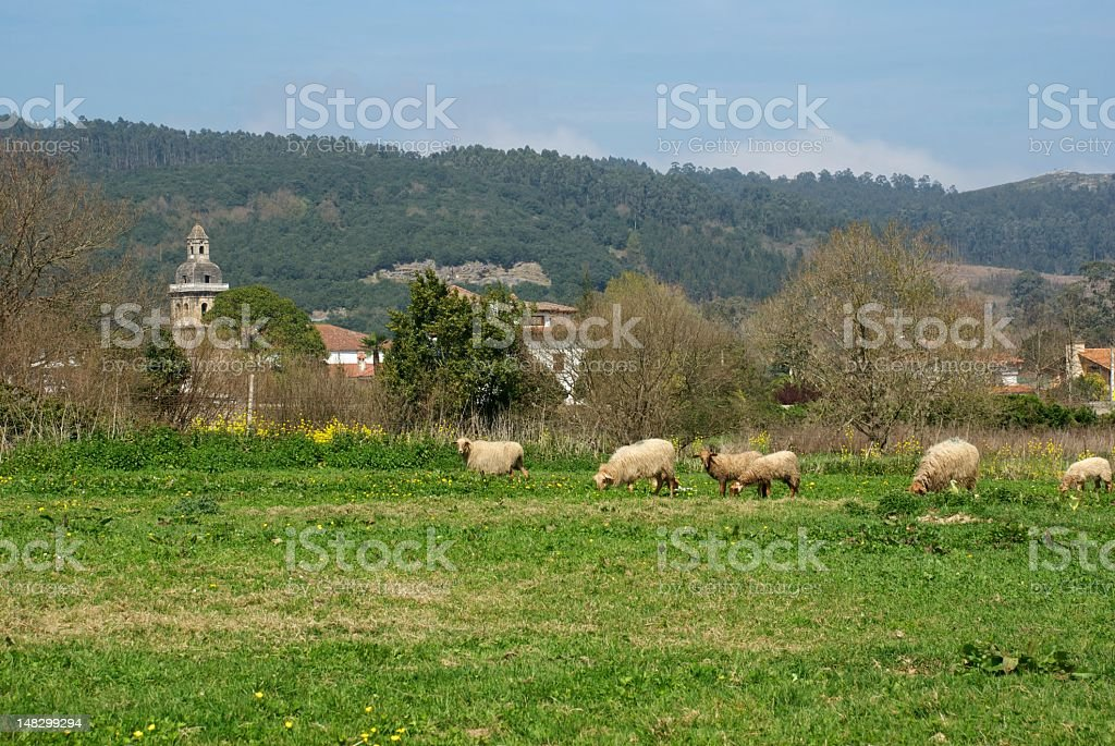 Sheep grazing in a meadow stock photo