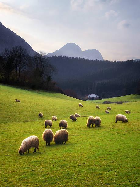 Pastoreo de ovejas en el País Vasco - foto de stock