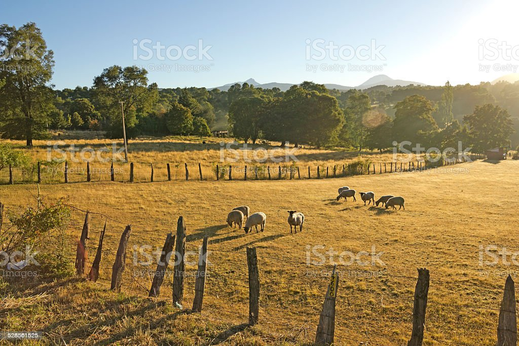 Sheep grazing in Chile stock photo