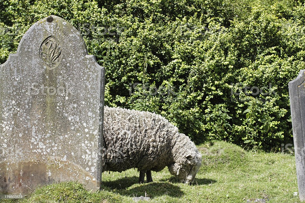 Sheep grazing in churchyard Oxted Surrey royalty-free stock photo