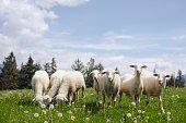 istock Sheep grazing in field 519005132