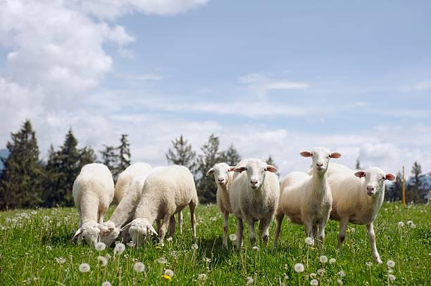 Pecore al pascolo in campo - foto stock