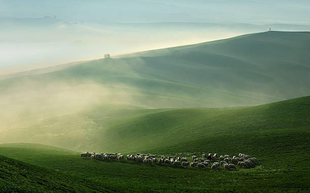 Sheep Grazing in Foggy Rolling Tuscany Landscape at Dawn stock photo