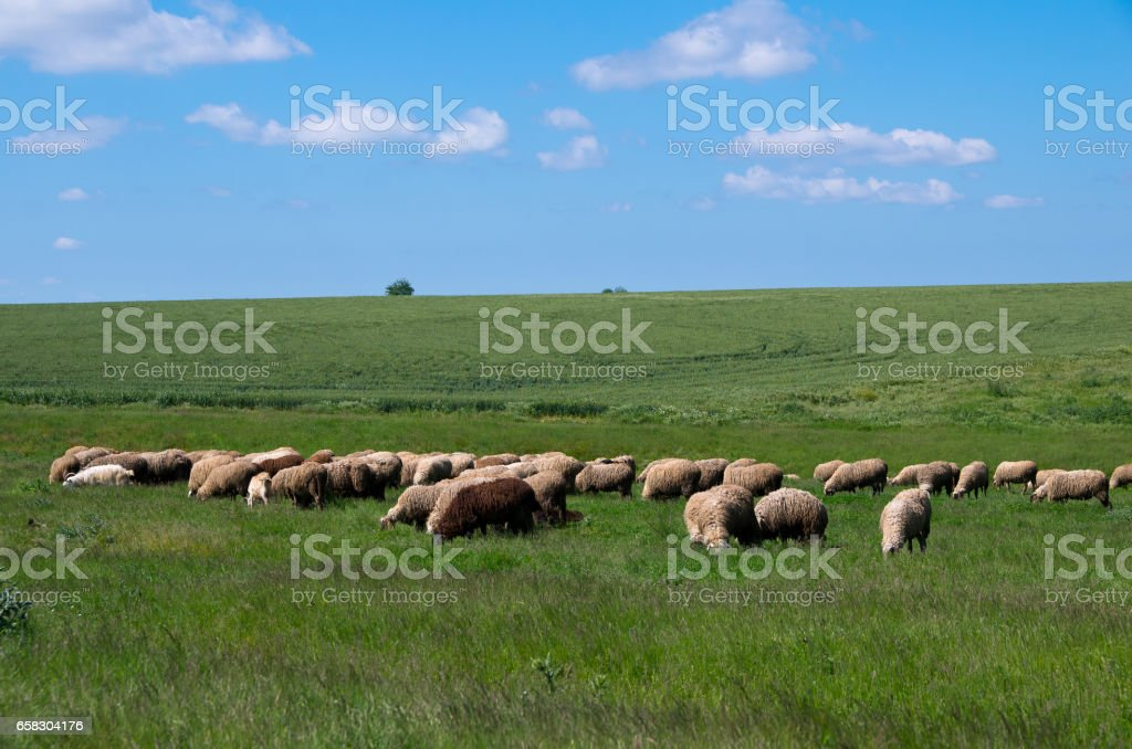 Sheep grazing in grass. Livestock. stock photo