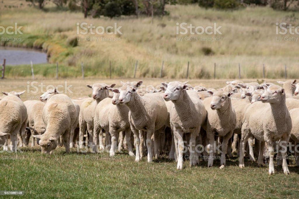 Sheep grazing in New Zealand stock photo