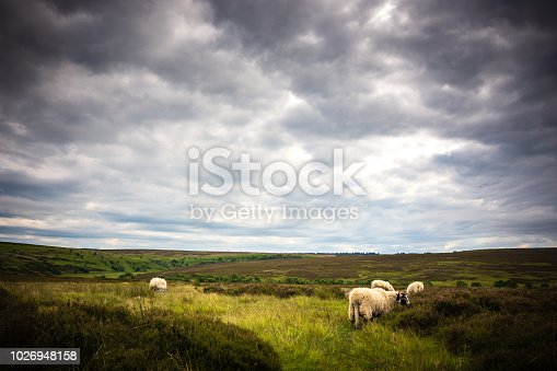A small herd of sheep are grazing on natural vegetation within North York Moors National Park near the town of Goathland. A moody overcast sky serves as a backdrop for the rural scene.