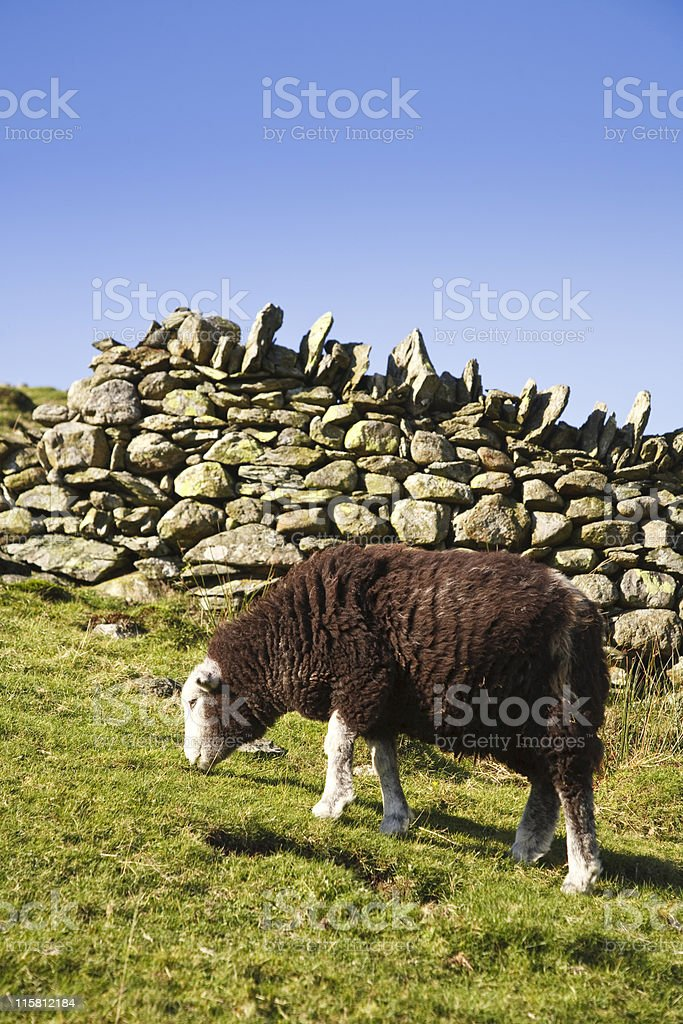 Sheep grazing in pasture stock photo