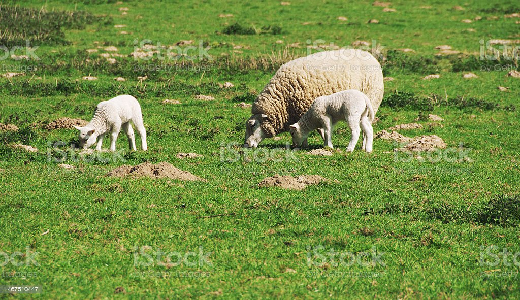 Sheep grazing in the pasture royalty-free stock photo