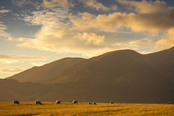Sheep grazing in the pastures of Keswick, England at sunset stock photo