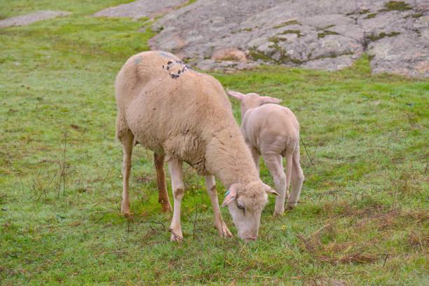 Ovejas pastando al lado de su cordero en el pasto - foto de stock