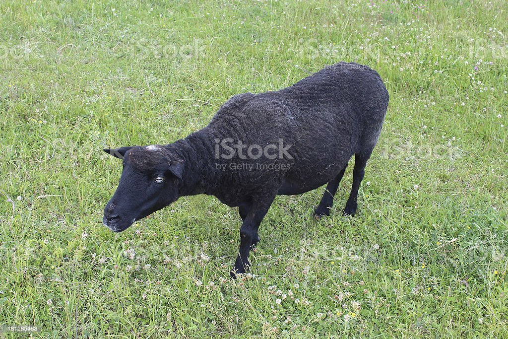 Sheep grazing on a grass stock photo
