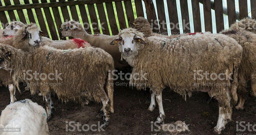 Schafe Grasen auf Wiese Lizenzfreies stock-foto