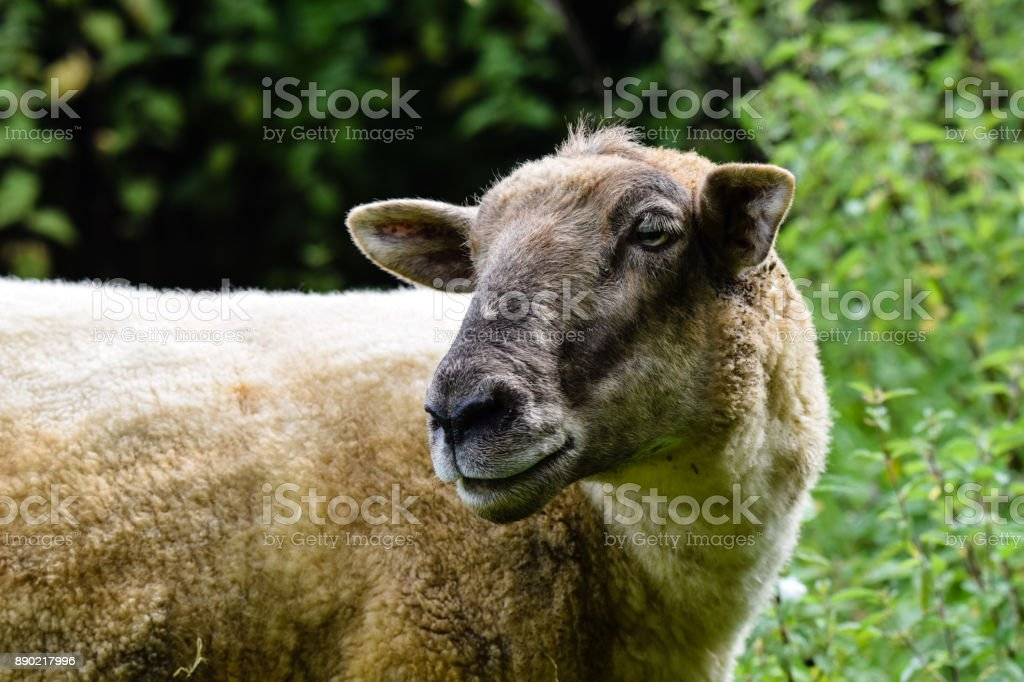 Sheep grazing on a summer meadow stock photo