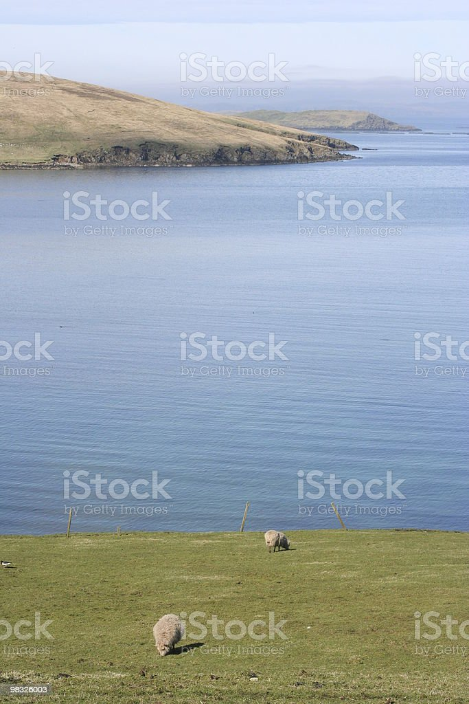 Sheep grazing on grassy slopes by sea royalty-free stock photo