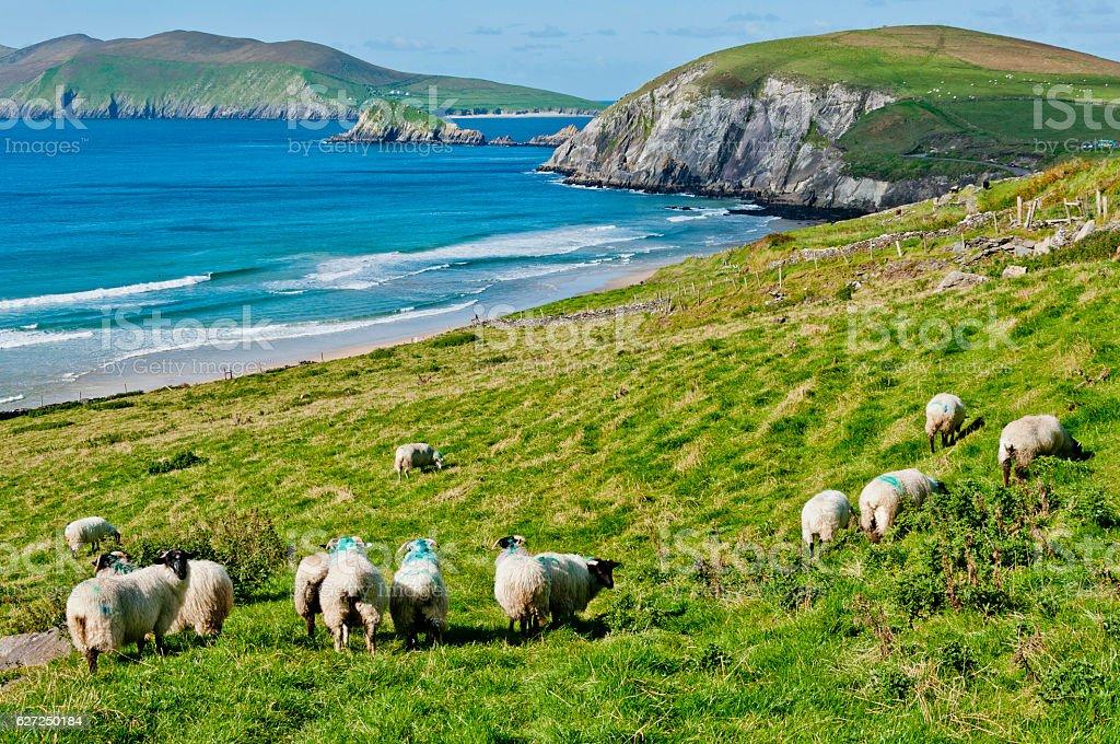Sheep Grazing on Irish Coast stock photo