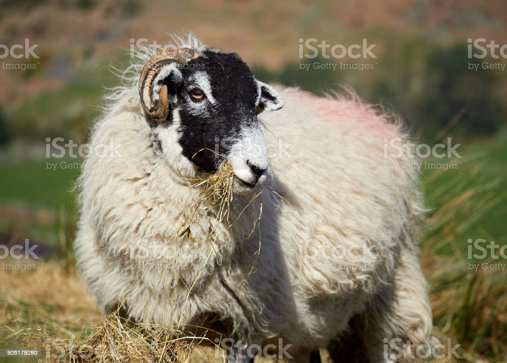 Sheep grazing on open ground in the mountains, hills of the English countryside. Livestock, hill farming. stock photo