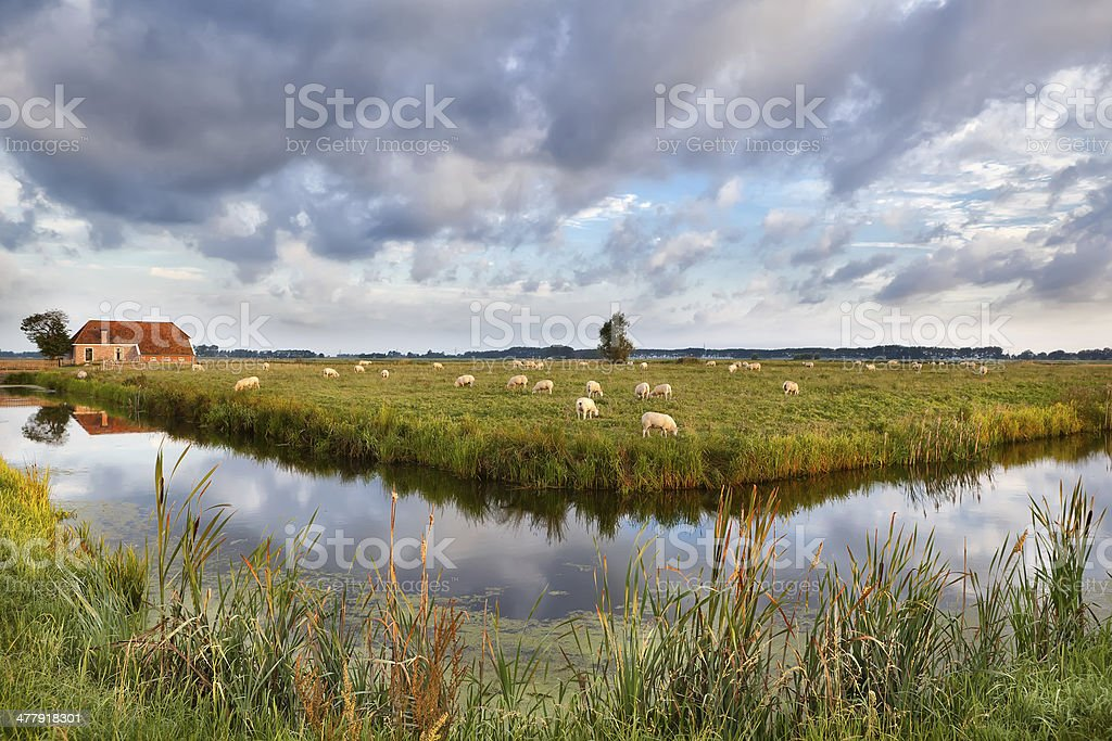 sheep grazing on pasture by farmhouse royalty-free stock photo