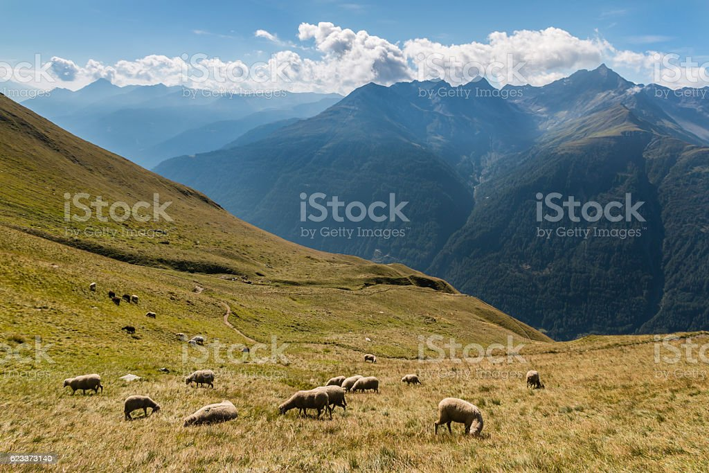 sheep grazing on slope in Austrian Alps stock photo