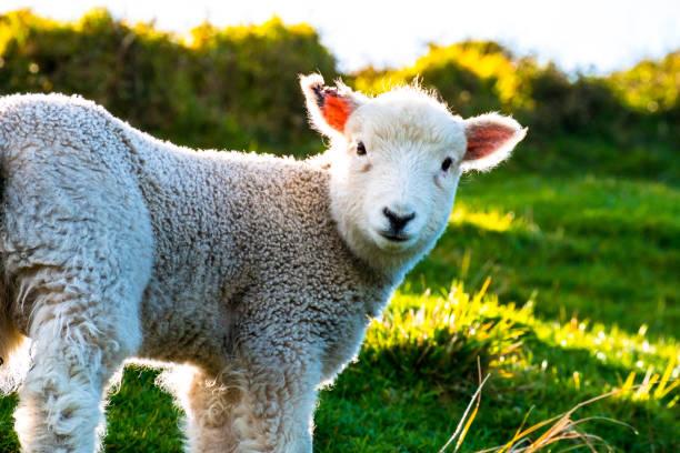 Schafbeweidung auf dem grünen Hof. Frisch mit einem warmen Licht Tag sonnig. Ein Schaf, starrte auf den Fotografen. – Foto