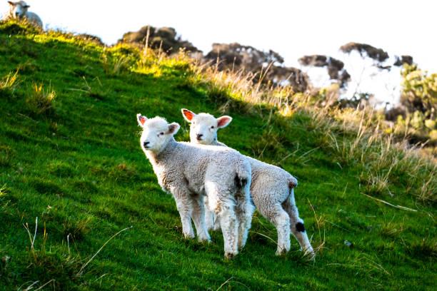Schafbeweidung auf dem grünen Hof. Frisch mit einem warmen Licht Tag sonnig. – Foto