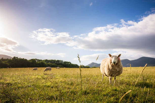 Sheep grazing on the lush hills of Keswick, England at sunset stock photo