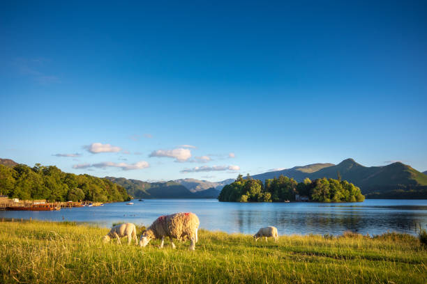 Sheep grazing on the lush shores of Lake Derwentwater, England stock photo