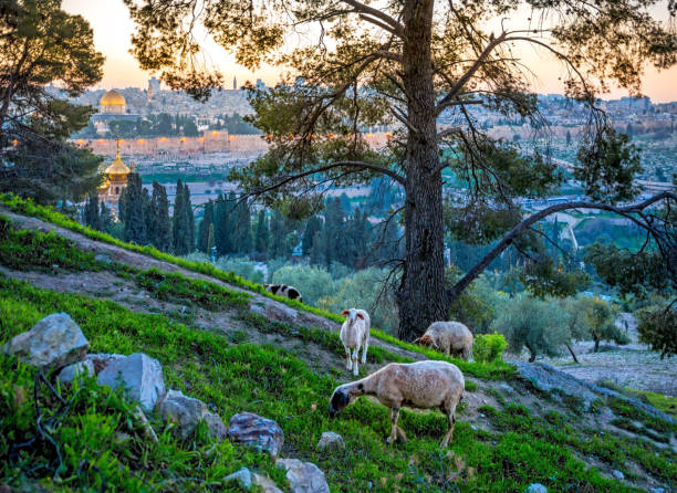 Sheep grazing on the Mount of Olives Sheep in a wood with a view of Jerusalem, Mount of Olives dome of the rock stock pictures, royalty-free photos & images