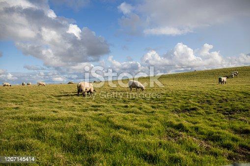 istock sheep grazing 1207145414
