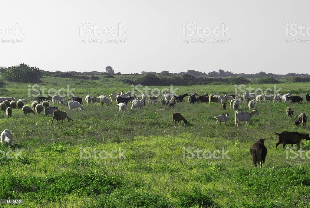 Sheep grazing. stock photo