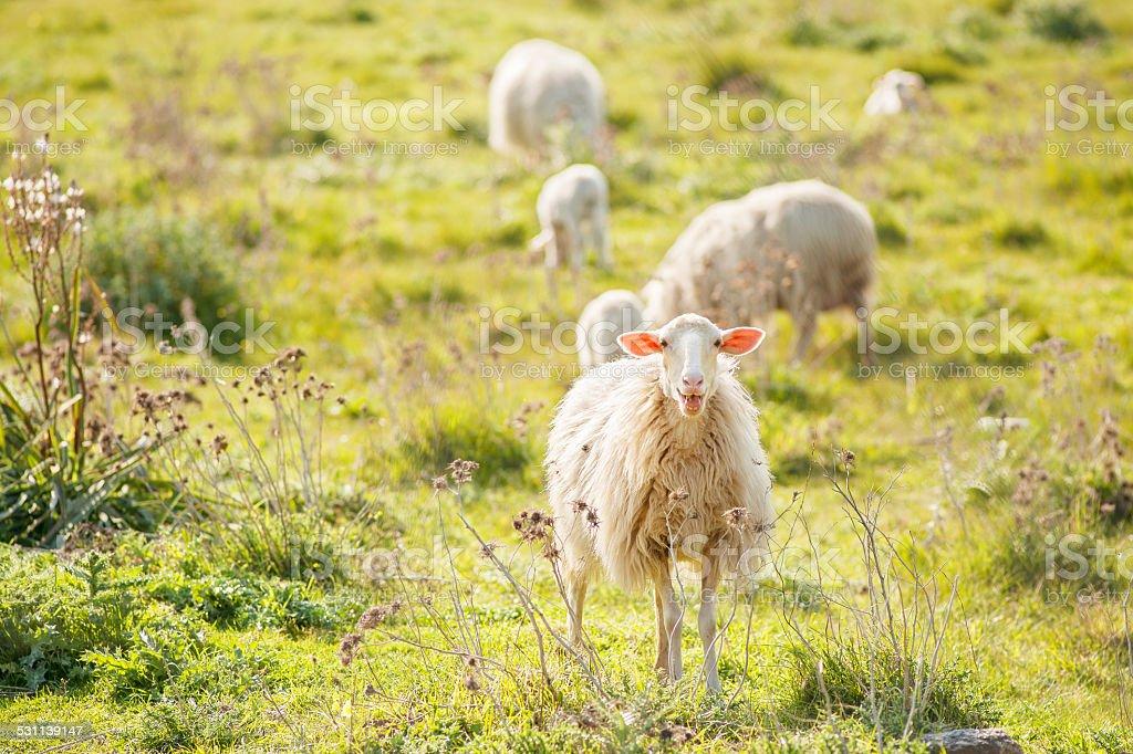 Ovelhas pastando - foto de acervo