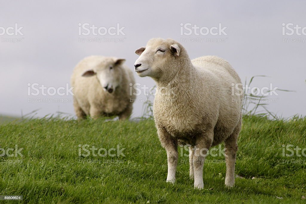 Sheep grazing royalty-free stock photo