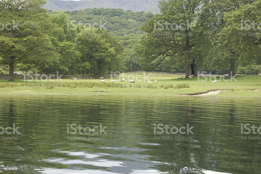 Sheep grazing safely royalty-free stock photo
