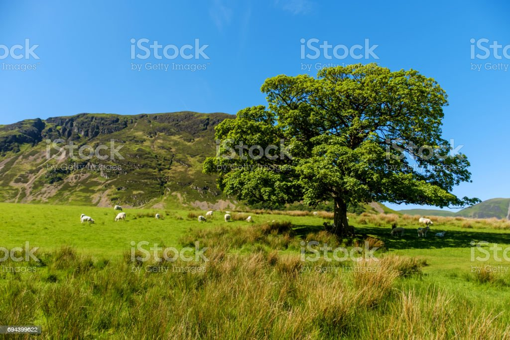 Sheep Grazing & Sheltering by an Oak Tree stock photo