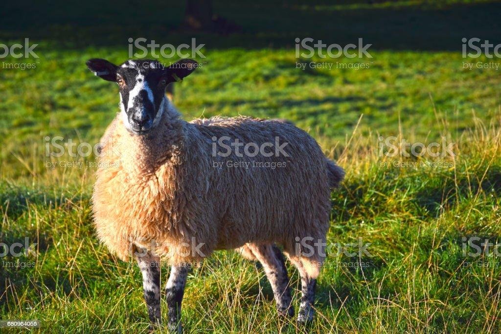 Sheep HD royalty-free stock photo