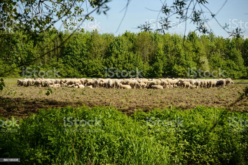 A sheep herd grazing in a clearing in the forest royalty-free stock photo
