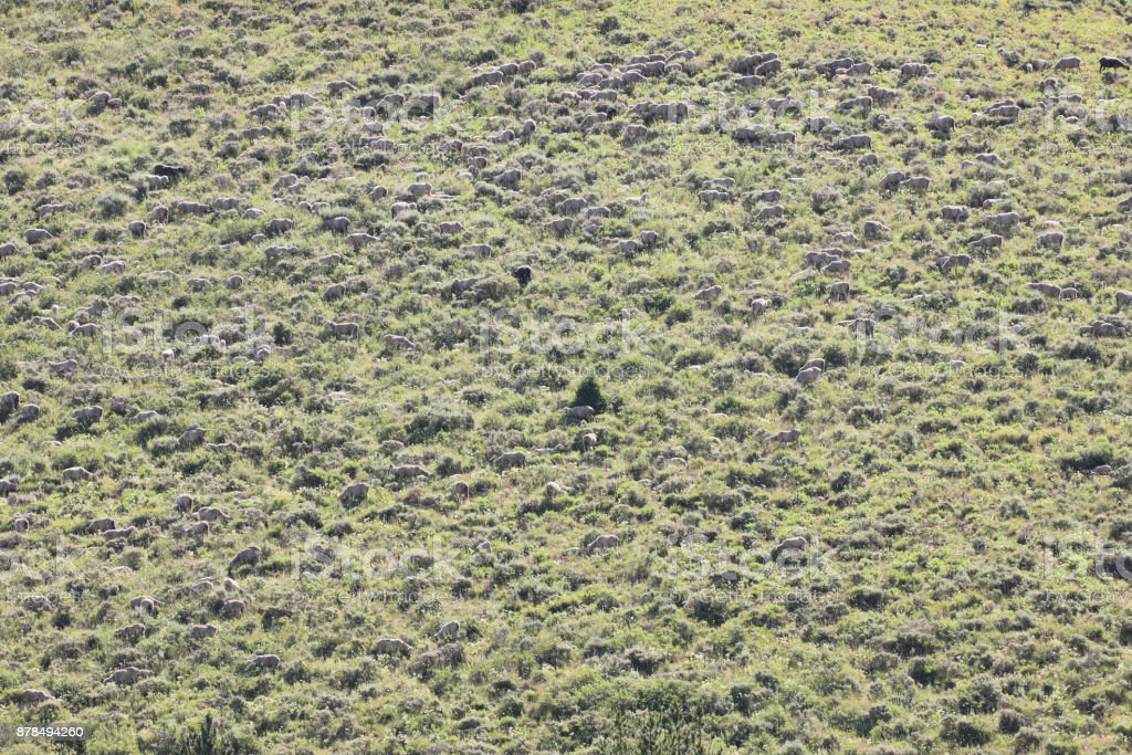 Sheep Herd Grazing Ranch Property stock photo